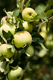 Green apples on apple-tree branch. Daylight Royalty Free Stock Photos