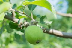 Green apples on an apple-tree branch Royalty Free Stock Image