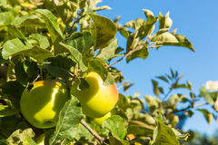 Green apples on apple tree branch ready to be harvested Royalty Free Stock Images
