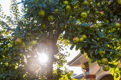 Green apples on apple tree branch ready to be harvested Stock Images