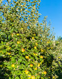 Green apples on apple tree branch ready to be harvested Royalty Free Stock Photography