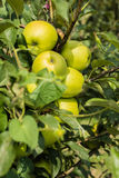 Green apples in apple tree Stock Photography