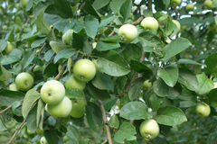 Green apples on apple-tree closeup Stock Photo