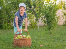 Cute boy helps parents to gather harvest. Fruit garden background with full basket of green apples. Green apples in the basket on green background. Organic food royalty free stock image