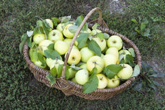 Green apples. Basket with apples on the green grass Stock Images
