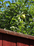 Green apples behind garden fence Royalty Free Stock Photos