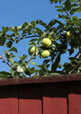 Green apples behind garden fence Stock Photo