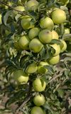 Green apples on a branch Stock Photography