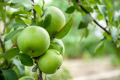 Green apples on a branch Royalty Free Stock Photos