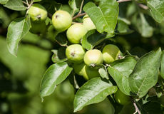 Green apples on a branch Stock Photo