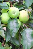 Green apples on a branch Royalty Free Stock Images