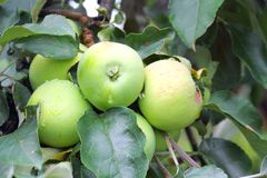 Green apples on a branch Stock Image