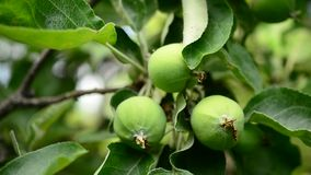 Green apples on branch stock footage