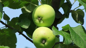 Green apples on a branch stock video footage
