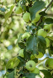 Green apples on a branch Stock Photos