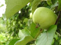 Green apples on a branch in the garden in the village, a clear Sunny day royalty free stock photography
