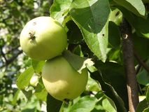 Green apples on a branch in the garden in the village, a clear Sunny day royalty free stock photos