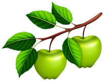 Green apples on the branch. Illustration Stock Photo