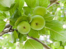 Green apples on branch Royalty Free Stock Images