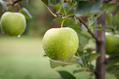 Green apples on a branch in an orchard Royalty Free Stock Images