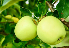 Green apples on a branch in orchard Royalty Free Stock Photo