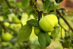 Green apples on a branch in an orchard Royalty Free Stock Photo