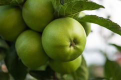 Green apples on a branch ready Royalty Free Stock Images
