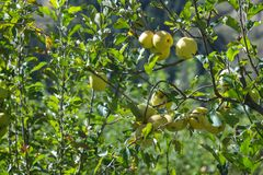 Green apples on a branch ready to be harvested. Green apples on a branch ready to be harvested, outdoors Stock Photography