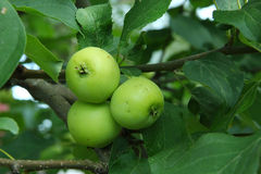 Green apples on a branch ready to be harvested. Outdoors, selective focus Stock Image