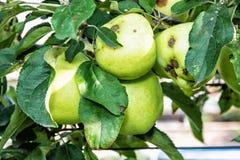 Green apples on the branch, seasonal natural scene Stock Photo