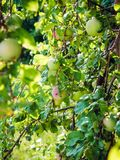 Green apples on a branch in summer in the garden stock photography