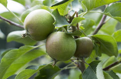 Green apples on a branch in summer in the garden. Green apples on a branch ready to be harvested, outdoors, selective focus royalty free stock photography