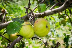 Green apples on a branch of a tree stock photo