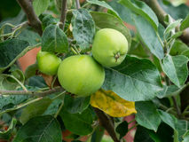 Green apples on a branch Royalty Free Stock Photography