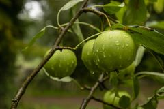 Green apples on a branch with water drops royalty free stock photo