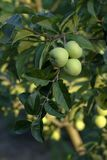 Green apples on branches Royalty Free Stock Photography