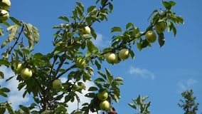 Green apples on branches against blue sky. Natural organic food on the tree. Sunny summer day. Foliage moves on the wind stock video