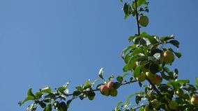 Green apples on branches against blue sky. Natural organic food on the tree. Sunny summer day. Foliage moves on the wind stock footage