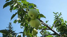 Green apples on branches against blue sky stock video