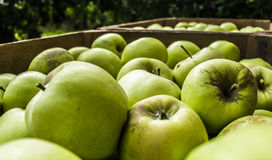 Green apples in chest. Chest full of polish treasure - apples, autumn royalty free stock image