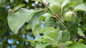 Green apples. Close up garden apple tree branch background stock footage