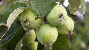 Green apples with drops after rain. On tree stock footage