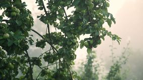 Green apples with drops after rain on tree. Apple tree after rain stock footage