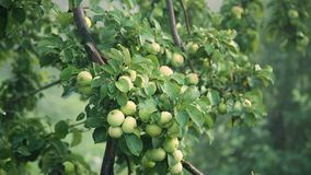 Green apples with drops after rain on tree. Apple tree after rain stock video footage