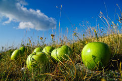 Green apples in field. Ripe green apples in field with blue sky and cloudscape in background Stock Photography