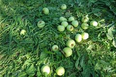 Green apples, freshly-picked from the tree, lying on the grass royalty free stock photography