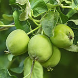 Green apples fruit on a branch Royalty Free Stock Photo