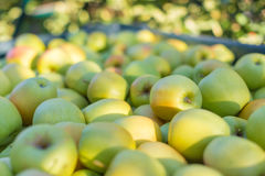 Free Green Apples (Golden Delicious) Stock Images - 60111694