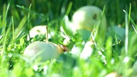 Green apples in green grass at the end of summer stock video footage