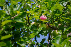 Green apples grow on apple tree branch with leaves under sunligh. Ripe apples on the tree in nature. Fresh apples on a branch. Stock Photography
